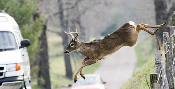 Whitetail deer jumping a fence into a roadway.